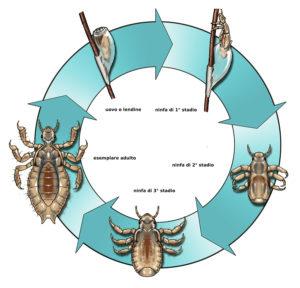 ciclo pidocchi